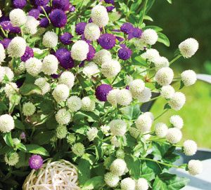 Grimes Seeds Plant Company Gomphrena Ez Gro White Gomp Produces A Profusion Of Bright Globe Flowers Born On Terminal Cers The Plants Are Disease And