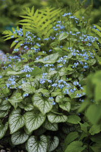 Successfully Growing Brunnera Jack Frost